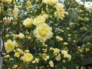 rose bush healthy